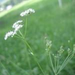 pflanzenjuli08 088